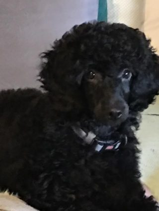 Dolly - small standard poodle