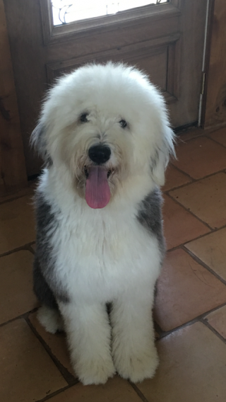 Ellie old english sheepdog