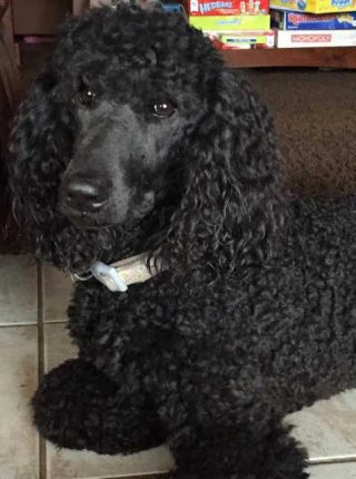 Josie Small standard poodle
