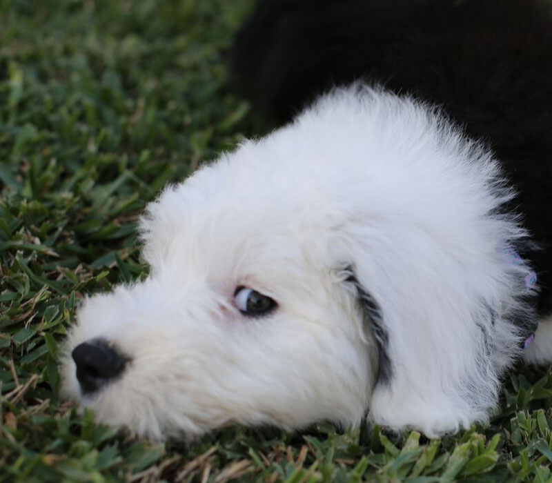 about sheepadoodle puppies Archives | Red Rooster Kennels
