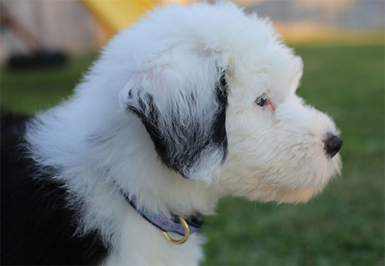 Sheepadoodle Puppies for Sale - Red Rooster Kennels - Magnolia, TX