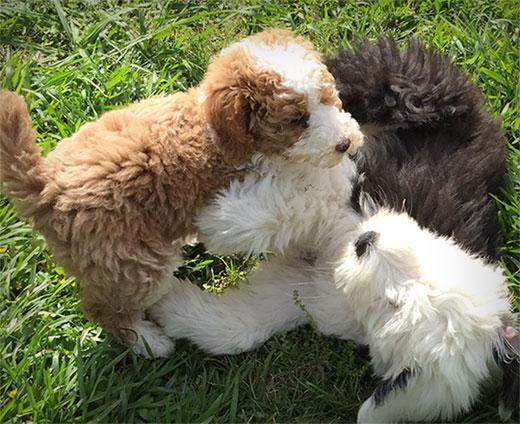 sheepadoodle puppies playing